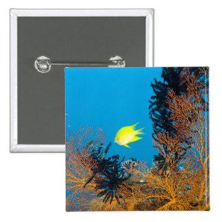 Golden Damselfish Amblyglyphidodon aureus Pinback Buttons