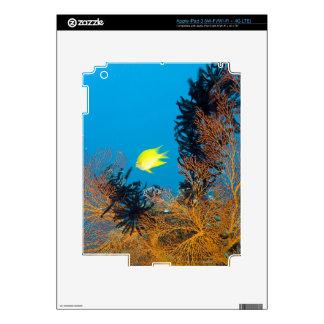 Golden Damselfish (Amblyglyphidodon aureus) iPad 3 Decals