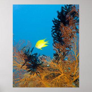 Golden Damselfish (Amblyglyphidodon aureus) Poster