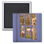 Golden Doodle puppy looking out glass door with 2 Inch Square Magnet