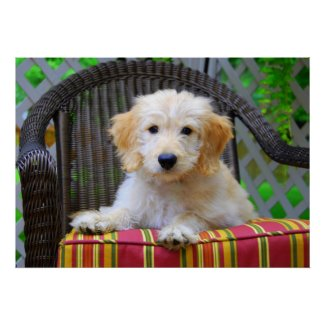 Golden Doodle Puppy Poster