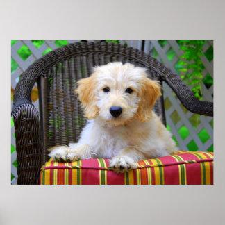 Golden Doodle Puppy Poster