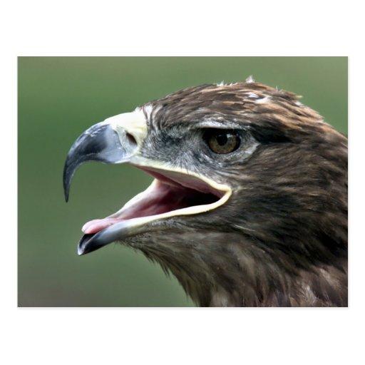 Golden Eagle, (Aquila chrysaetos) Postcard