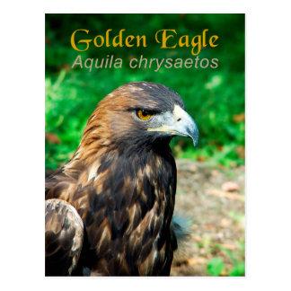 Golden Eagle (Aquila chrysaetos) Postcard