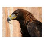 Golden Eagle (bird) Postcard