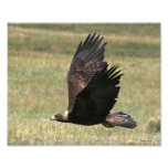 Golden Eagle in Flight 8x10 horizontal Photographic Print