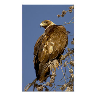 Golden Eagle  in Yellowstone Poster
