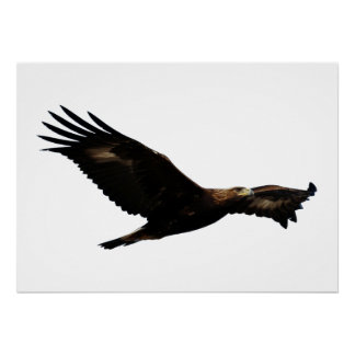 Golden Eagle Soaring Poster