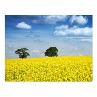 Golden Field Postcard