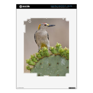 Golden-fronted Woodpecker adult male perched Decals For iPad 3