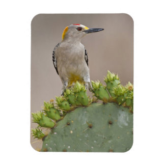 Golden-fronted Woodpecker adult male perched Magnet