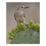 Golden-fronted Woodpecker adult male perched Posters