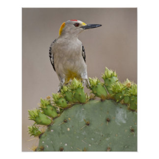 Golden-fronted Woodpecker adult male perched Poster