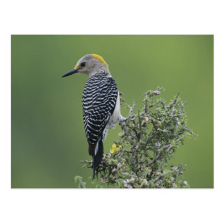 Golden-fronted Woodpecker, Melanerpes 2 Postcard