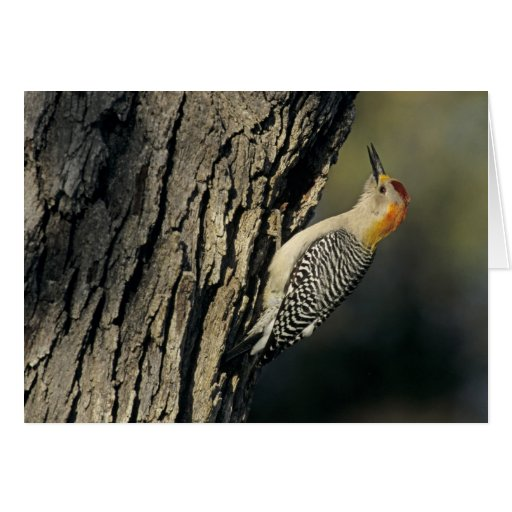Golden-fronted Woodpecker, Melanerpes Greeting Card