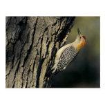 Golden-fronted Woodpecker, Melanerpes Postcard
