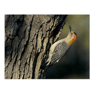 Golden-fronted Woodpecker, Melanerpes Postcard