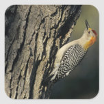 Golden-fronted Woodpecker, Melanerpes Square Sticker