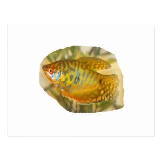 Golden Gourami Side View Saturated Aquarium Fish Postcard
