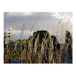 Golden Grasses Postcard