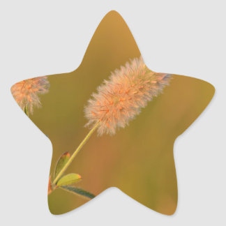 Golden haresfoot clover or Trifolium arvense Star Sticker