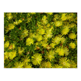 Golden Ice Plant Yellow Flowers Postcard