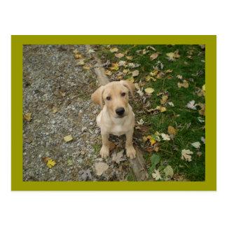 Golden Lab Puppy Postcard