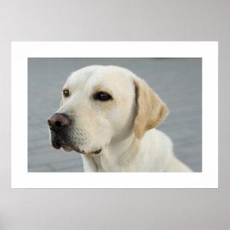 Golden Labrador Poster