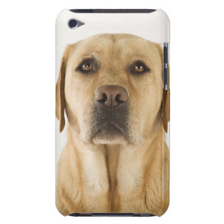 Golden Labrador Retriever (Canis familiaris). iPod Touch Covers