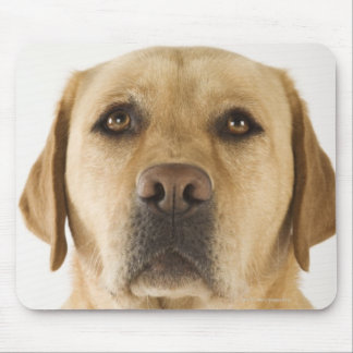 Golden Labrador Retriever (Canis familiaris). Mouse Pad