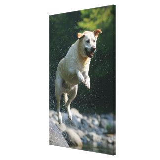 Golden Labrador Retriever jumping into river Canvas Print