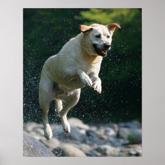Golden Labrador Retriever jumping into river Poster