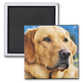 Golden Labrador Retriever Magnet
