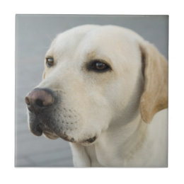 Golden Labrador Retriever Photograph Ceramic Tile