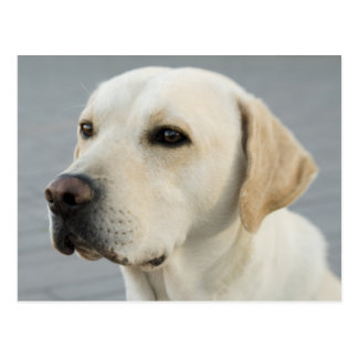 Golden Labrador Retriever Photograph Postcard