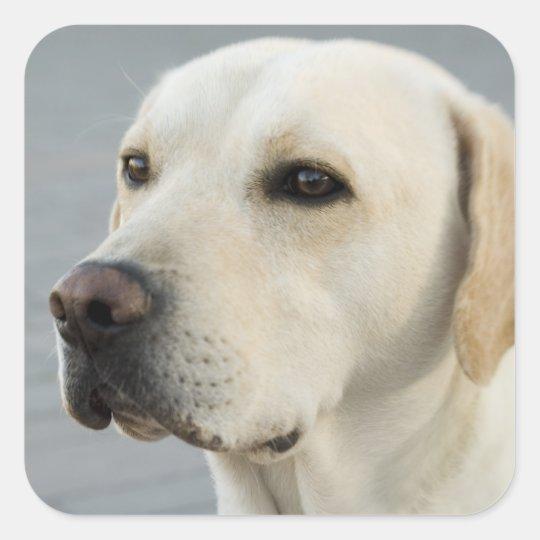 Golden Labrador Retriever Photograph Square Sticker
