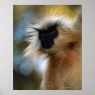 Golden langur (Prebytis geei) close up, Manas Poster