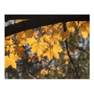 Golden leaves in the Fall Postcard