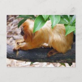 Golden Lion Tamarin Grooming postcard