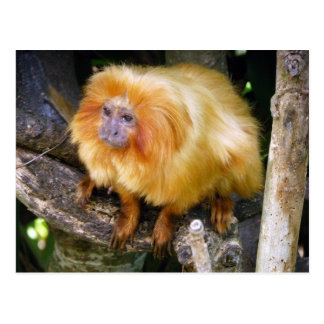 Golden Lion Tamarin Postcard