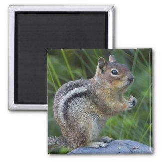 Golden Mantled Ground Squirrel Magnet