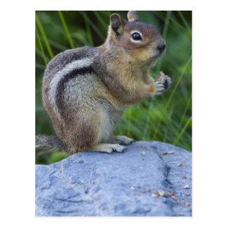 Golden Mantled Ground Squirrel Postcard