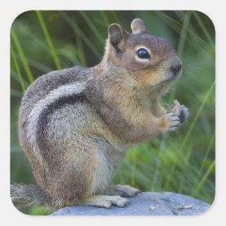 Golden Mantled Ground Squirrel Sticker