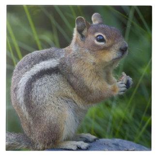 Golden Mantled Ground Squirrel Ceramic Tiles