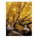 Golden Maple ~ postcard