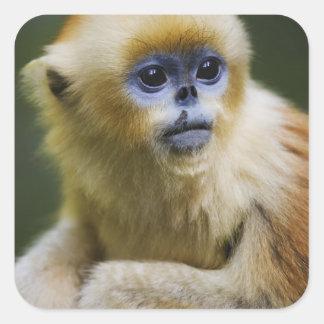 Golden monkey square sticker