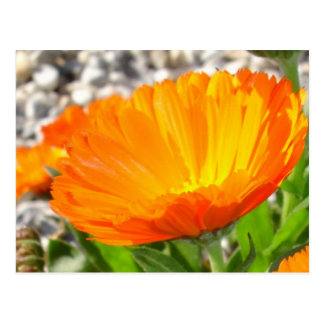 Golden Orange Calendula Marigold Flower Postcard