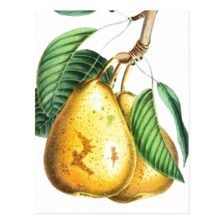 Golden pear Recipe Card Postcard