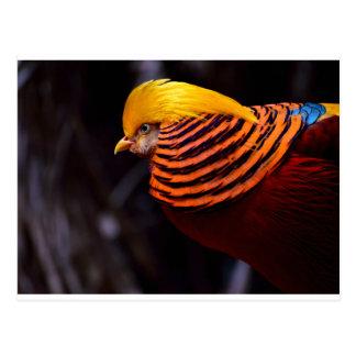 golden-pheasant-3346 postcard