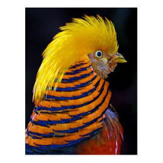 Golden pheasant print postcard